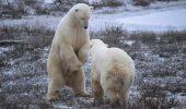 Administrația Obama propune un nou plan pentru salvarea urșilor polari