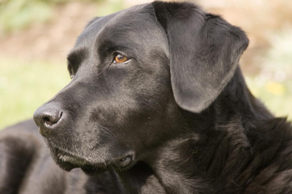 Labrador_Retriever_black_portrait_Ellis