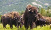 1,5 milioane de euro băgaţi în BIZONI la Cluj! Investitorii vor să exporte carne pe bandă rulantă în toată Europa