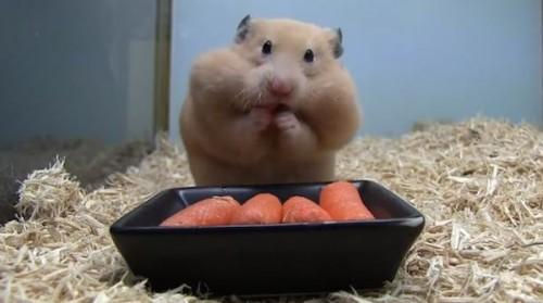 Vrei sa vezi cum arata cel mai HAPSÂN hamster din lume? Click aici! VIDEO