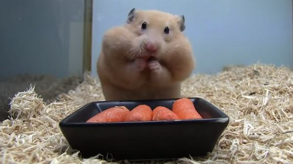 hamster-stuffs-mouth