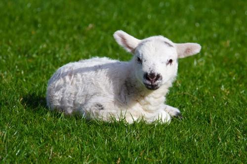 De Paşte, cei care vor să mănâce MIEL, riscă să cumpere carne de CÂINE?