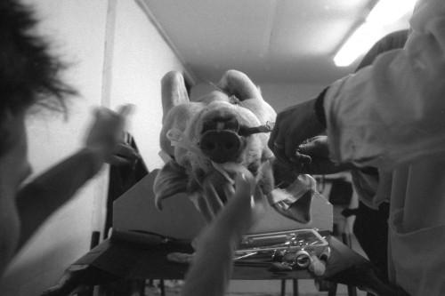 Doctorul intervine chirurgical pe corpul porcului. Unele animale nu sunt moarte atunci cand se incepe scoaterea gloantelor.
