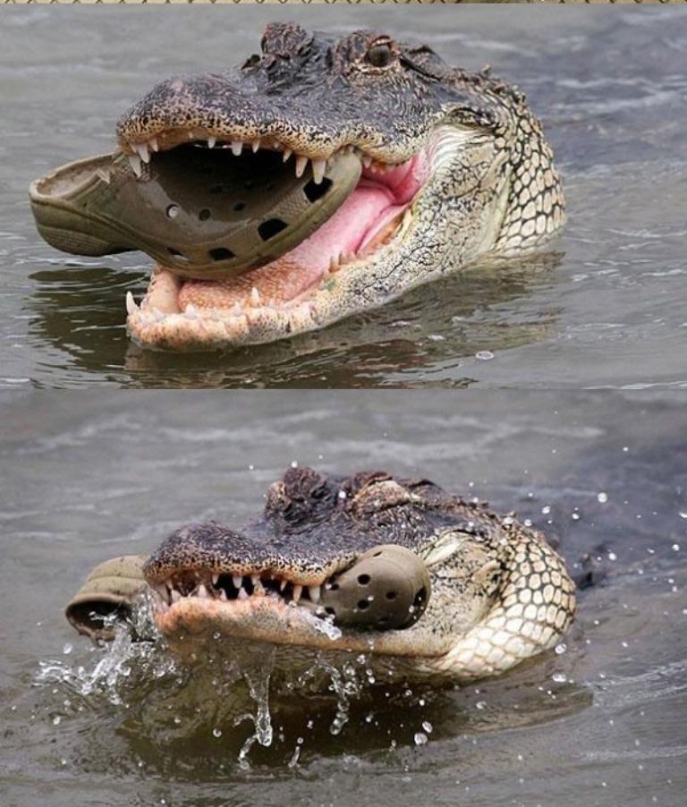 2. Pe ca de mult urasti tu papucii CROCS, pe atat de mult ii urasc crocodilii. Chiar daca poarta aceasi denumire, imensa reptila se simte jignita de asociere.