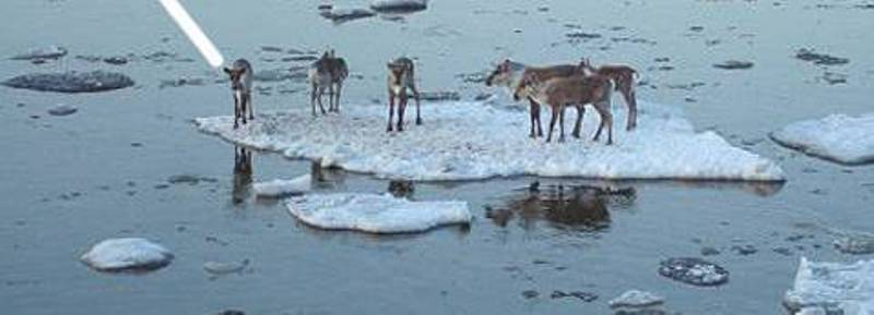 caribou-stranded-ap-doodle__oPt