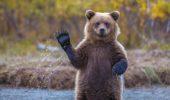 VIDEO! Urşii care se relaxează în hamac!