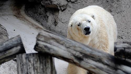 El este cel mai trist urs polar din lume!