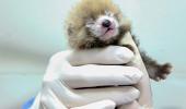 """Impresionant! Vezi cum arată """"panda bebeluşii roşii"""""""