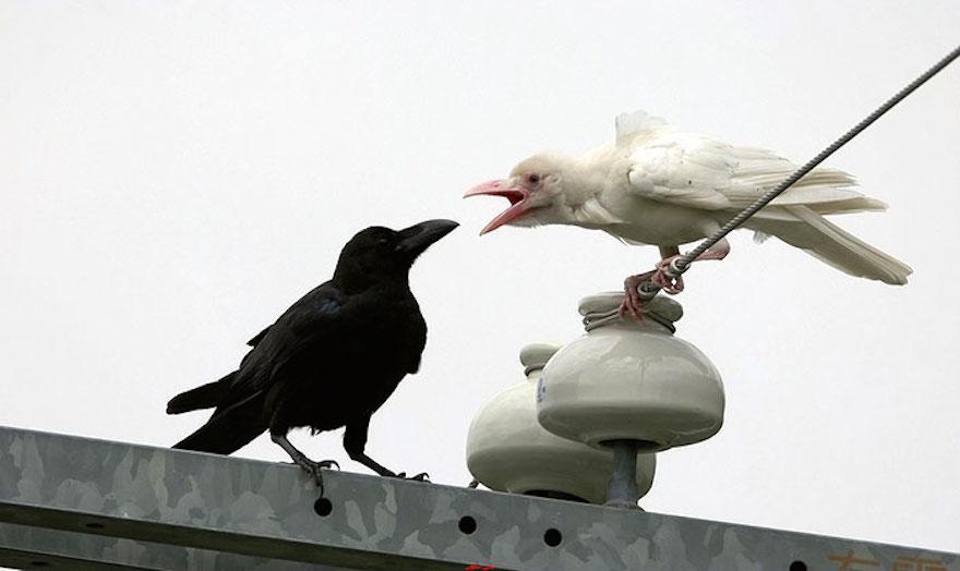Albino Crow