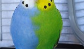 Blue & Green Parakeet