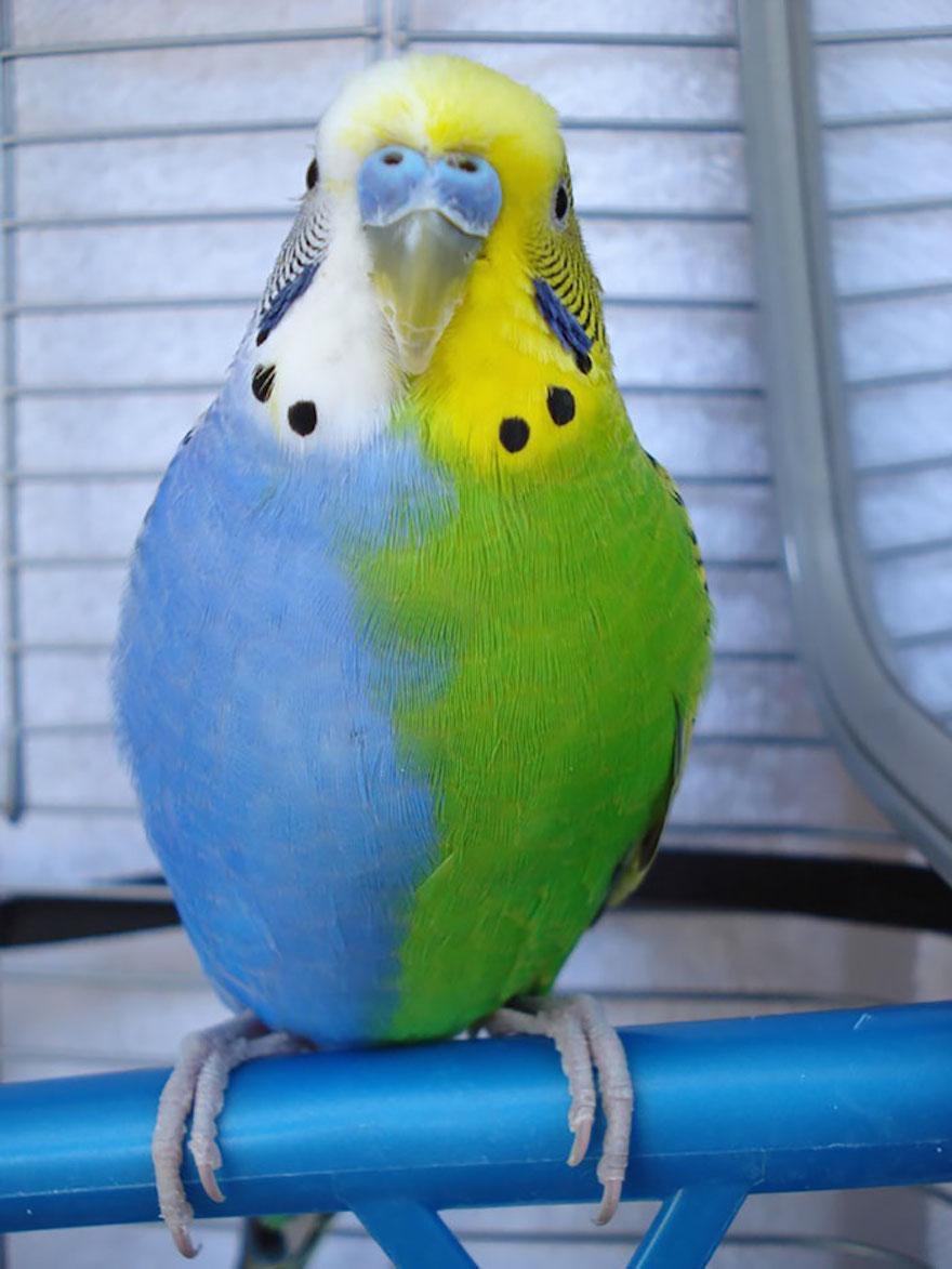 Blue & Green Parakeet