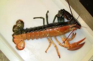 Halloween Lobster