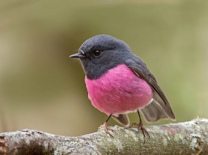 Perfectly Pink Chested Robin Bird
