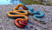 The Regal Ringneck Snake
