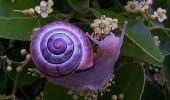 melci purpurii