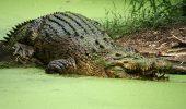 Cel mai mare crocodil din lume