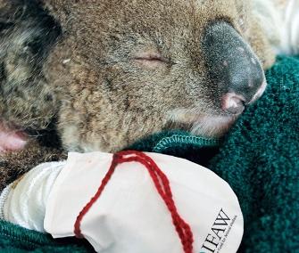 Gest emoționant în urma incendiilor din Australia