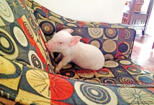 A indragit un porc