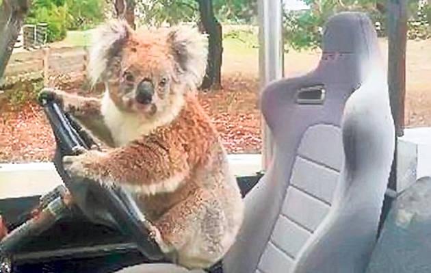 24-koala-masina_2cbe1d13ed