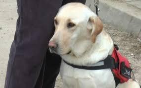 Labradorul Maia, sprijin pentru un nevazator din Judetul Iasi