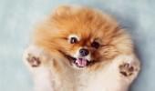 Pomeranian-1