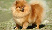 Pomeranian – germanul englez