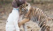 Relatia speciala dintre un tigru si un caine