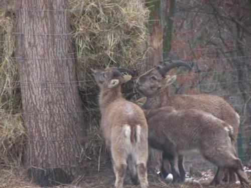 9 capre Ibex și patru antilope Oryx la Gradina Zoologica din Targu Mures