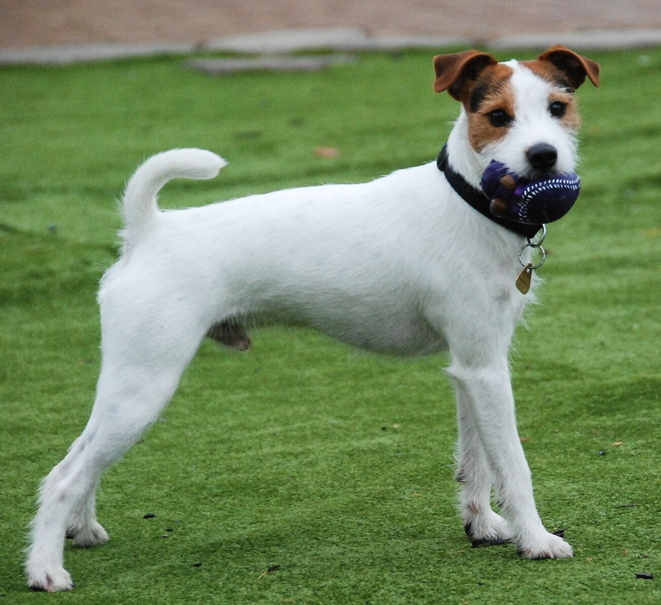 parson-russell-terrier1