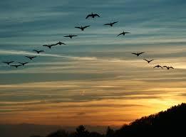 De ce pasarile migratoare se schimba intre ele in pozitia de conducere a stolului?