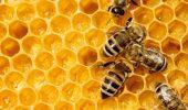 Albinele, pe cale de disparitie