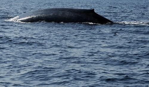 Sfarsit de an cu o salvare SPECTACULOASA: o balena albastra, naufragiata pe o plaja din Chile!