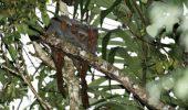 O nouă specie de maimuţe torcătoare în pădurile amazoniene