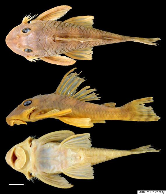 o-greedo-fish-570