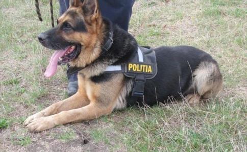 Rex, eroul canin din Politia Romana! A simtit mirosul victimei pe un telefon mobil!