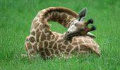 Singura girafa din Romania, de la Zoo Targu Mures, cauta companion!