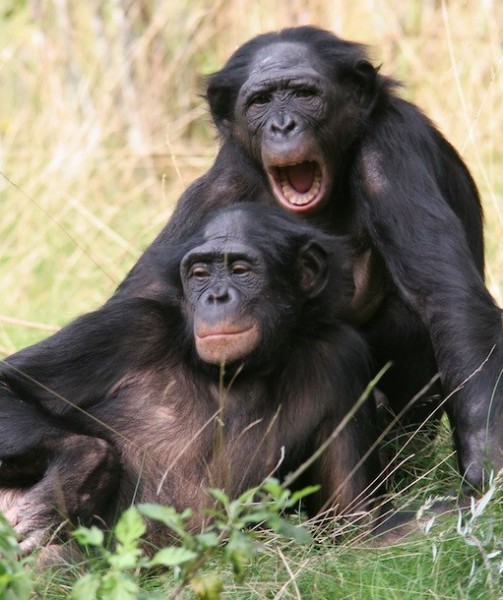 maimutele bonobo