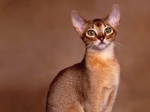Abisiniana – descendenta pisicii sacre din Egipt?