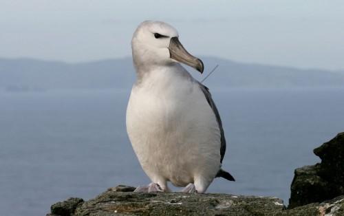 Albatrosul, pasarea care doarme pe valuri