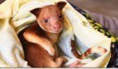 Un cangur arboricol a supraviețuit în marsupiul unui wallaby