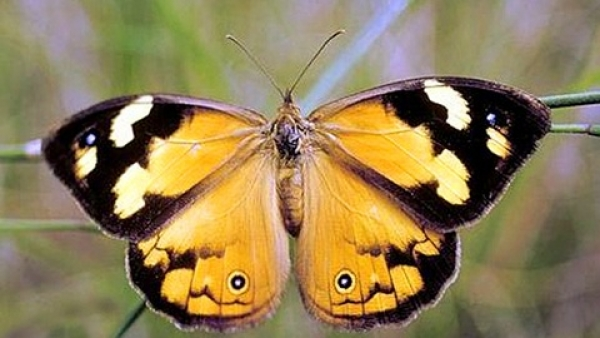 fluture 1