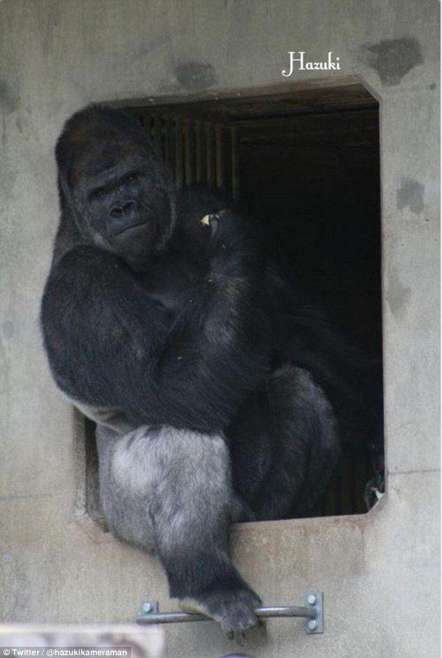 gorila01