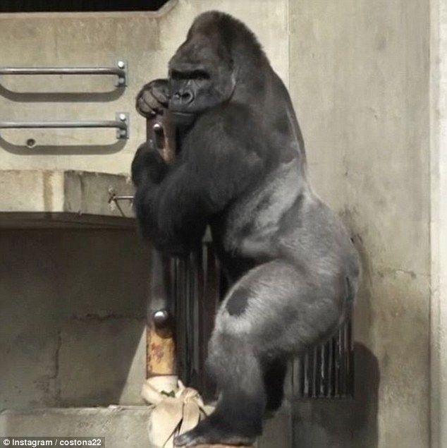 gorila02