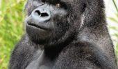 Gorila care le-a innebunit pe japoneze