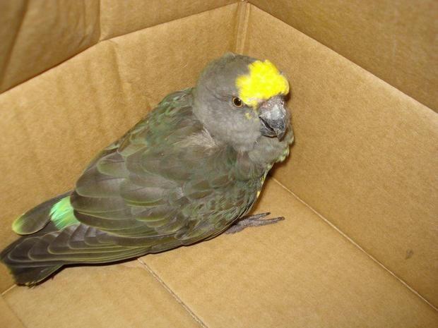 papagal gasit