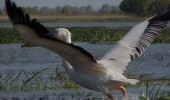 pelicanul-cret