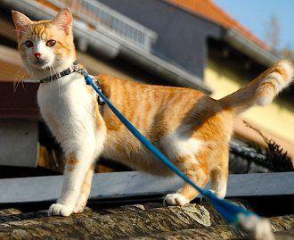 pisica-lesa
