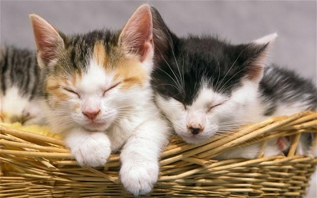 pisici in cos