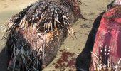 Un piton a murit dupa ce a inghitit un porc spinos