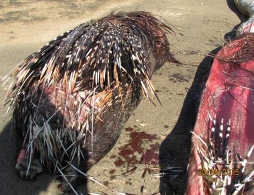 Un piton a MURIT dupa ce a ÎNGHIȚIT un porc spinos!